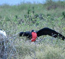 Frigate bird 8. by Anne Scantlebury