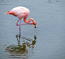 Flamingo 1. by Anne Scantlebury