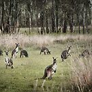 Kangaroos by Ryan Carter