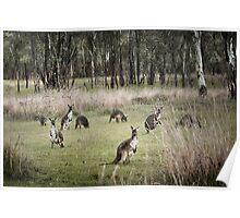 Kangaroos Poster