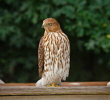 Coopers Hawk by Robert H Carney