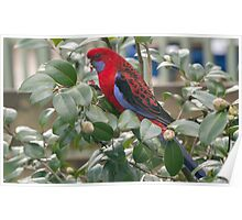 Red Rosella eating buds 20120821 4052  Poster