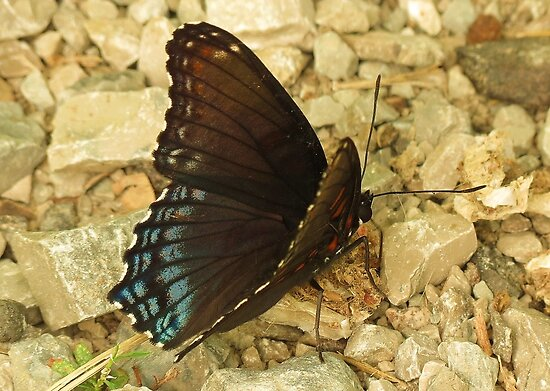 Red Spotted Purple by Ron Russell