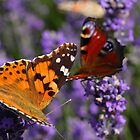 Small Tortoiseshell and painted lady by Jicha