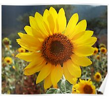 Sunflower Bloom Poster