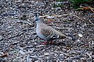 Crested pigeon by Ian Berry