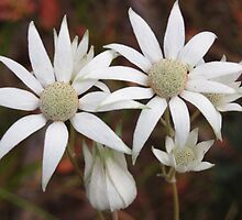 Fabulous Flannel Flowers! by RebeccaHambyArt
