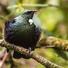 Tui - New Zealand by Kimball Chen