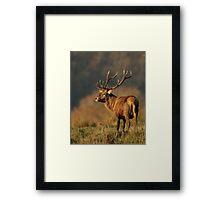 Red Deer Stag at Eve Framed Print