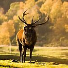 Red deer Stag by Andrew Glover