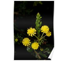 Hedge Wattle Poster