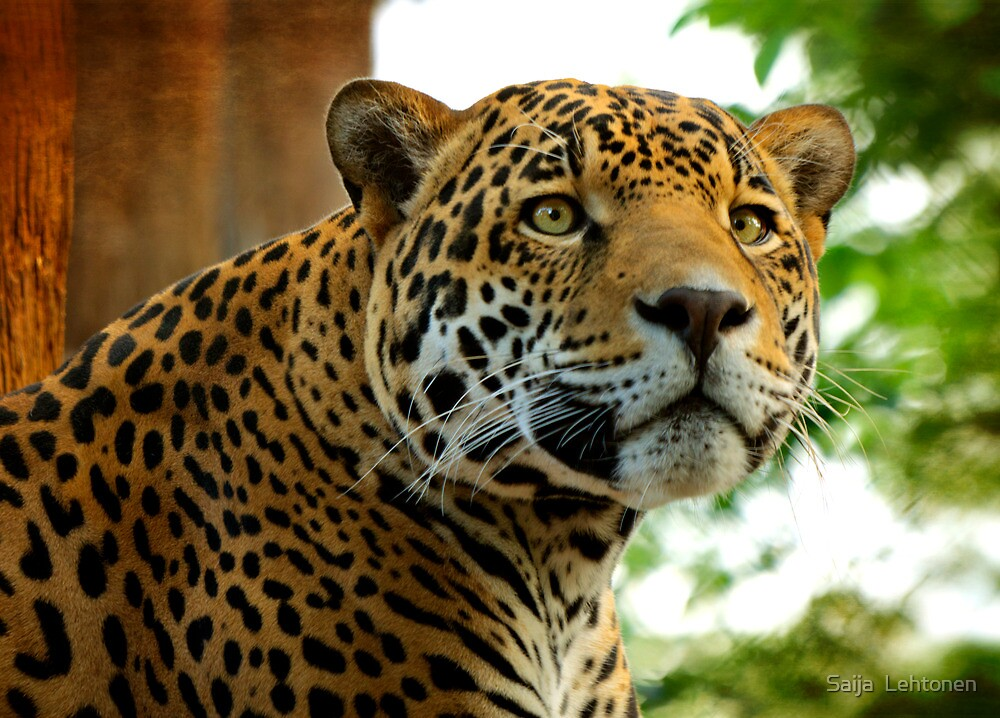 The Jaguar  by Saija  Lehtonen