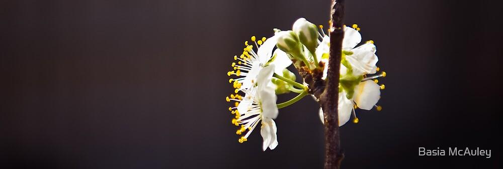 Spring Glimpses by Basia McAuley