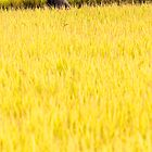 Golden Harvest - Dali, China by Alex Zuccarelli