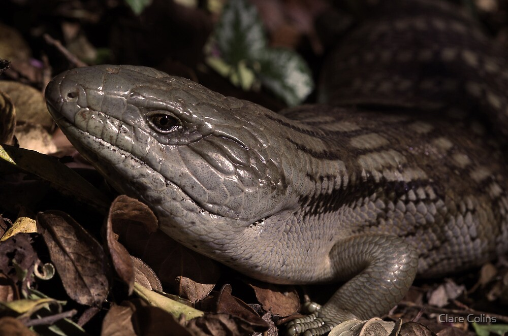 A Blue tongue Lizard in my Garden by Clare Colins