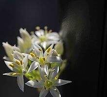 One more of the Chives by julie08