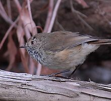 Brown Thornbill by Leslie-Ann