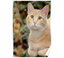 Marmalade Tabby Cat Poster