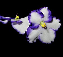 African violets on black by flips99