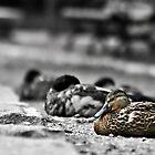 Ducks in a row... by Jeananne  Martin