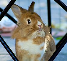 Brown and white rabbit in frame by ejrphotography