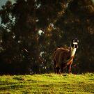 Dolly the Llama by Christopher Burton