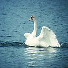 Swan  by Ann Persse