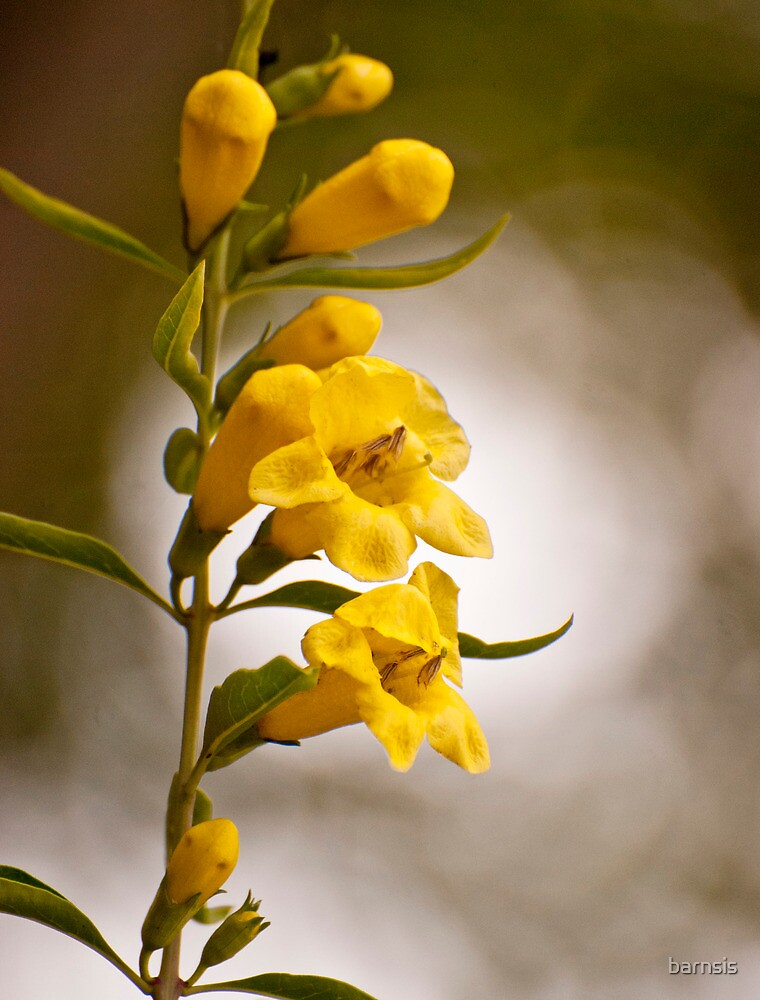 Yellow Bells by barnsis
