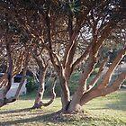 Coastal trees at Pippi's Beach, Yamba NSW by Margaret Morgan (Watkins)
