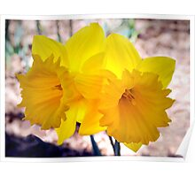 Daffodil Double Poster