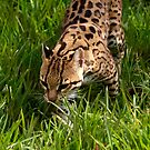 Stalking Ocelot by Terence Russell