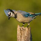 Looking Blue by Bill McMullen