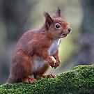 A Red Squirrel posing by David Alexander Elder