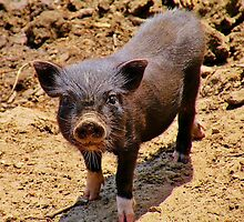 A Confident Little Porker by Martha Sherman