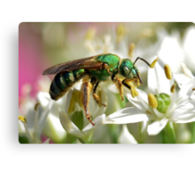 Sweat Bee On White Flowers Canvas Print