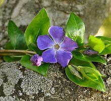 Una flor azul..... by cieloverde