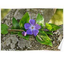 Una flor azul..... Poster