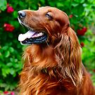 Irish Setter by JennyRainbow