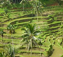 Rice Terraces by machka