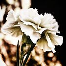white carnation by © Karin Taylor