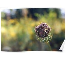 Wild Carrot (going to seed) Poster