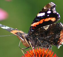 Red Admiral butterfly  by cagunique