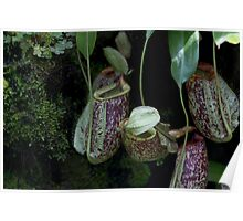 Pitcher plant inside the National Orchid Garden in Singapore Poster