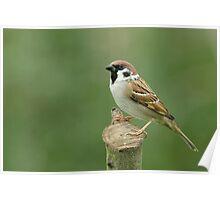 Tree Sparrow (Passer montanus) Poster
