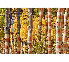Aspen Gold Red White and Blue Photographic Print