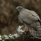 Northern Goshawk (Accipiter gentilis) - I by Peter Wiggerman