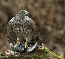 Northern Goshawk (Accipiter gentilis) - II by Peter Wiggerman