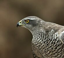 Northern Goshawk (Accipiter gentilis) - III by Peter Wiggerman