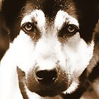 A dog's eyes - iphone case by yossi rabinovich