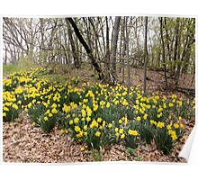 Daffodils in the Forest Poster
